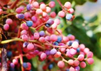 خواص باورنکردنی میوه درخت پسته کوهی (بنه یا کُلخُنگ)